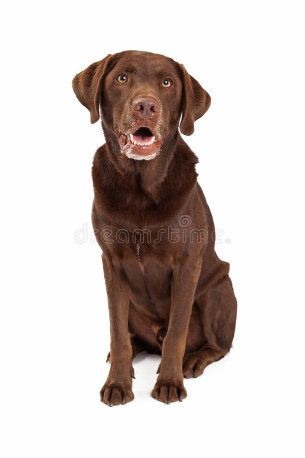 Chocolate Labrador Retriever Dog Sitting Looking Forward. Chocolate labrador retreiver dog sitting looking forward with mouth open stock photos