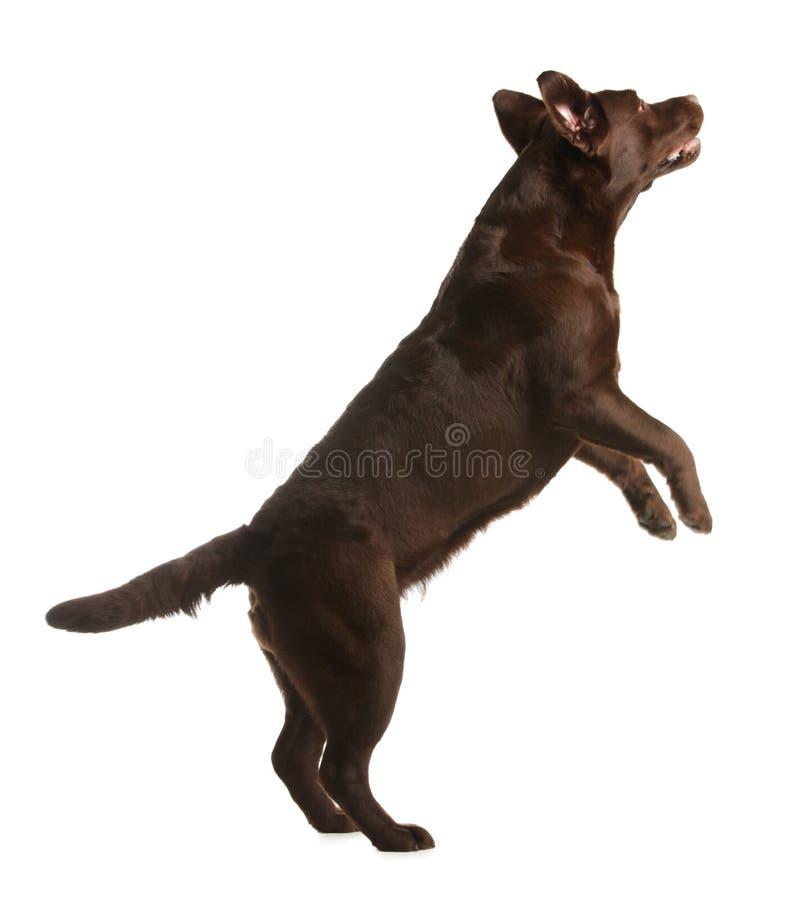 Chocolate labrador retriever jumping. On white background royalty free stock photo