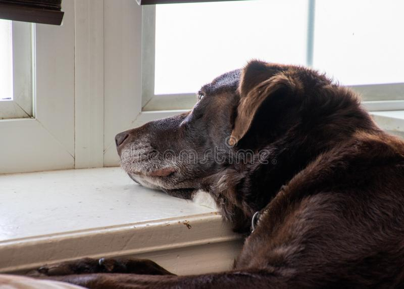 Chocolate labrador retriever lazily dreaming while looking out the window and laying on window ledge. Of bay window stock photography