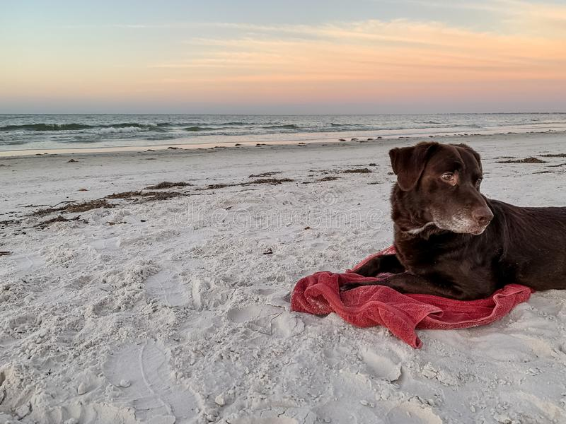 Chocolate Labrador Retriever looking around at nature during sunrise while laying on a towel on a white sand beach along Gulf. Chocolate Labrador Retriever royalty free stock photos