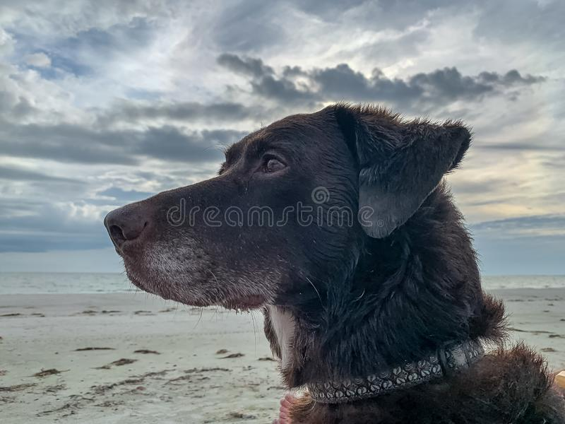 Chocolate Labrador Retriever looking off into distance. On Estero Island in Florida royalty free stock image