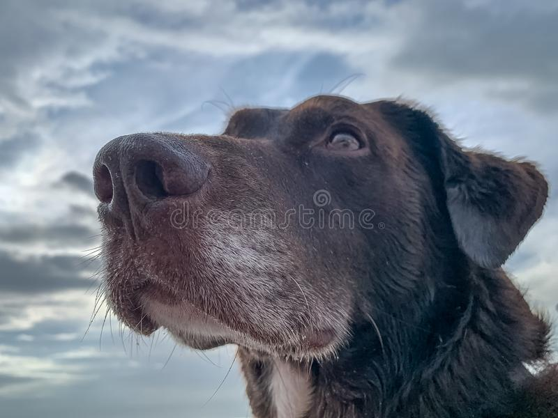 Chocolate Labrador Retriever looking off into distance. With overcast skies in background stock photos