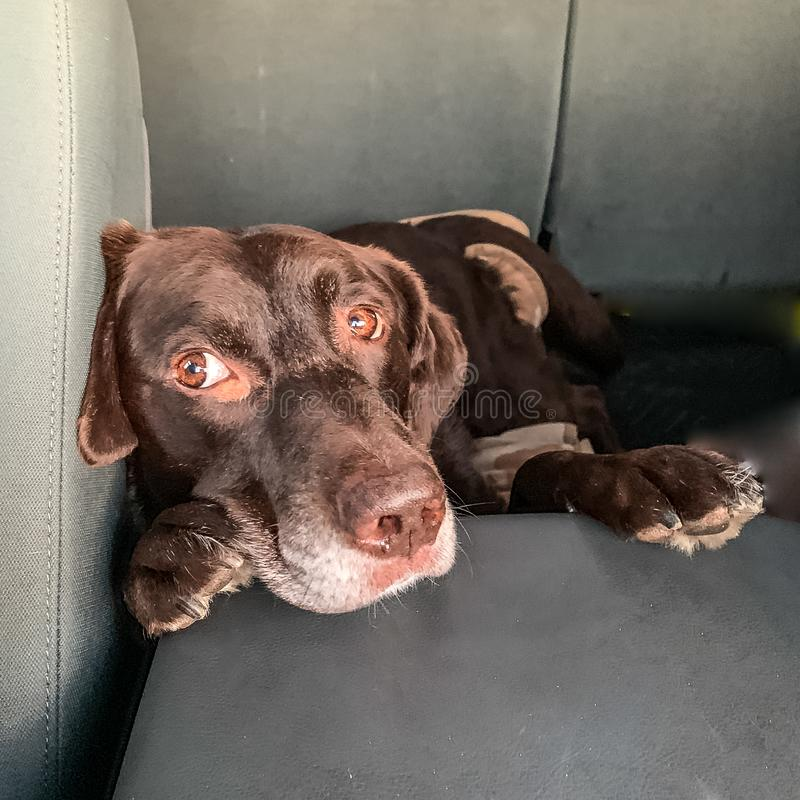 Chocolate Labrador Retriever with paws up on truck console. Chocolate Labrador Retriever with paws up on truck console, relaxed and looking sideways royalty free stock image