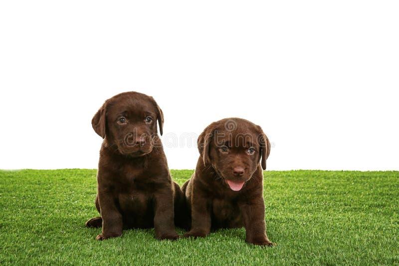 Chocolate Labrador Retriever puppies on green grass. Against white background stock photo