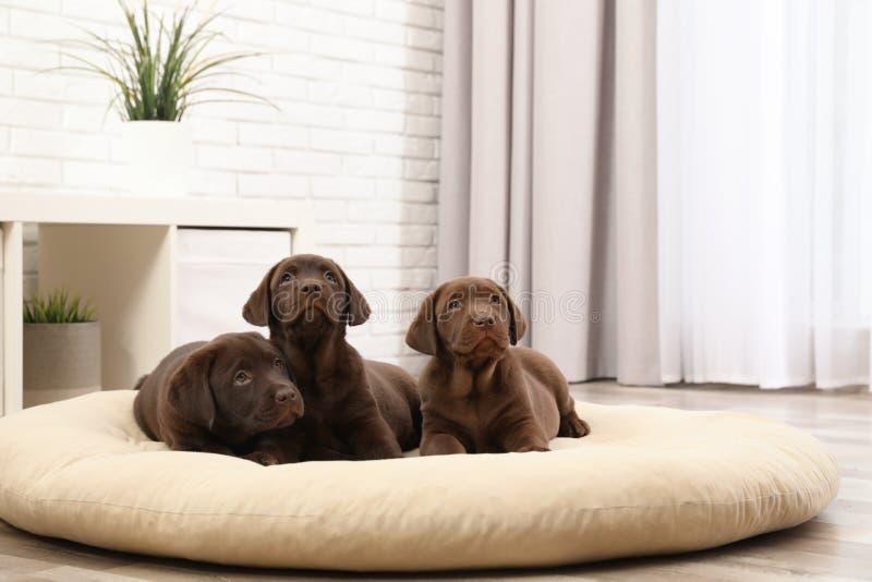 Chocolate Labrador Retriever puppies on pet pillow. At home stock photos