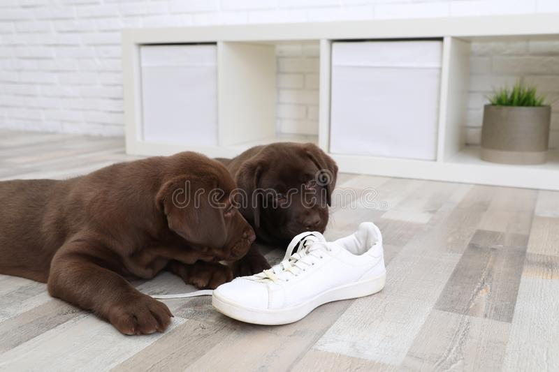 Chocolate Labrador Retriever puppies playing with sneaker on floor. Indoors royalty free stock images