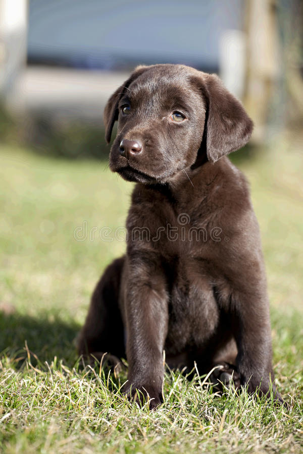 Chocolate Labrador Retriever puppy stock photo
