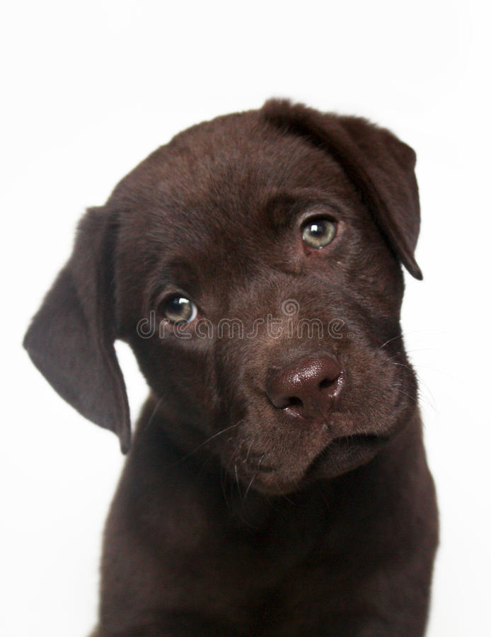 Chocolate labrador retriever puppy. Studio shot of cute looking chocolate labrador retriever puppy with inclined head in front of white background stock photo