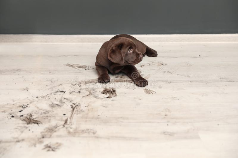Chocolate Labrador Retriever puppy and dirty paw prints. On floor indoors stock photos