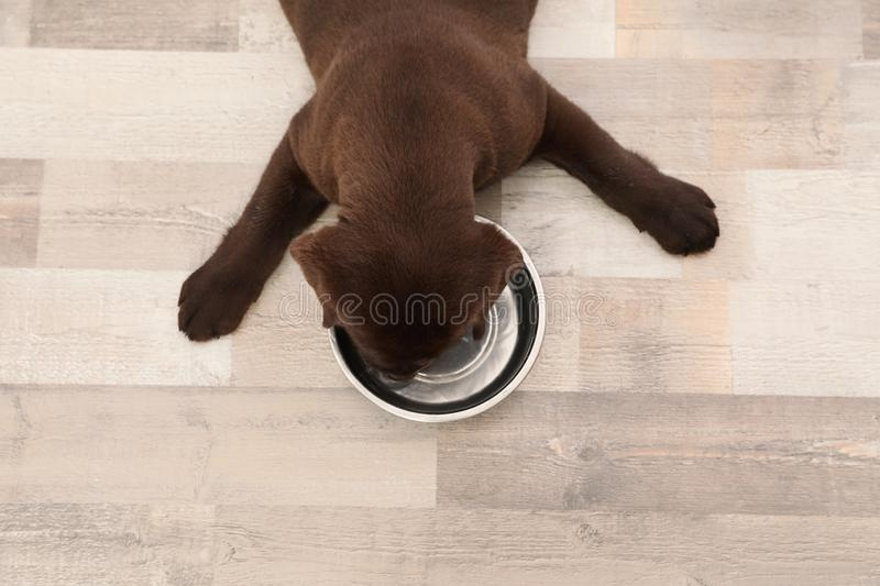 Chocolate Labrador Retriever puppy with empty food bowl at home. Top view stock photos