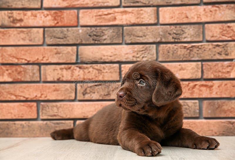 Chocolate Labrador Retriever puppy on floor near wall. Indoors stock image