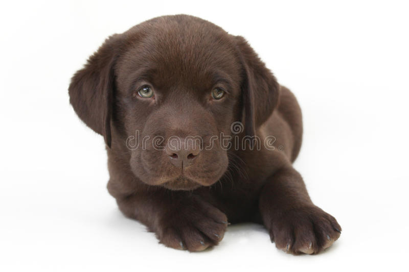 Chocolate labrador retriever puppy with green eyes. Studio shot of cute looking chocolate labrador retriever puppy with green eyes royalty free stock photos