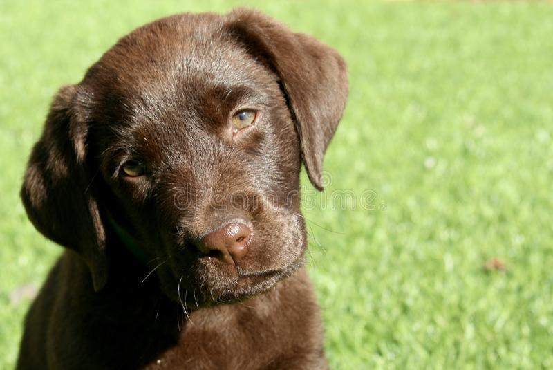 Chocolate Labrador Retriever Puppy With Head Tilted royalty free stock photos