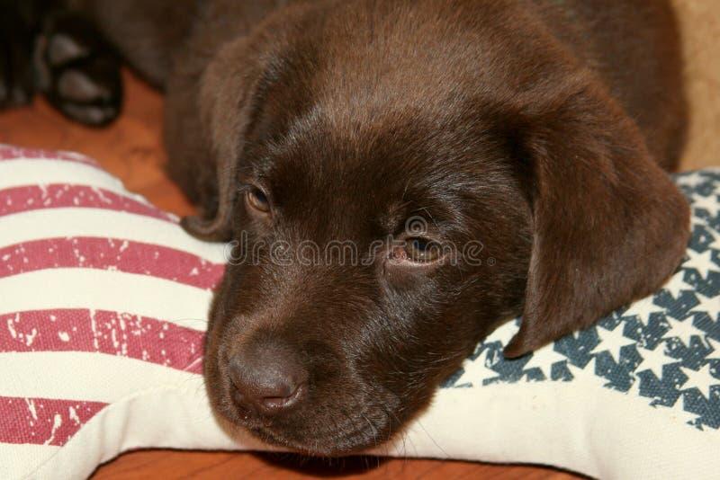 Patriotic Chocolate Labrador Retriever Puppy royalty free stock photo