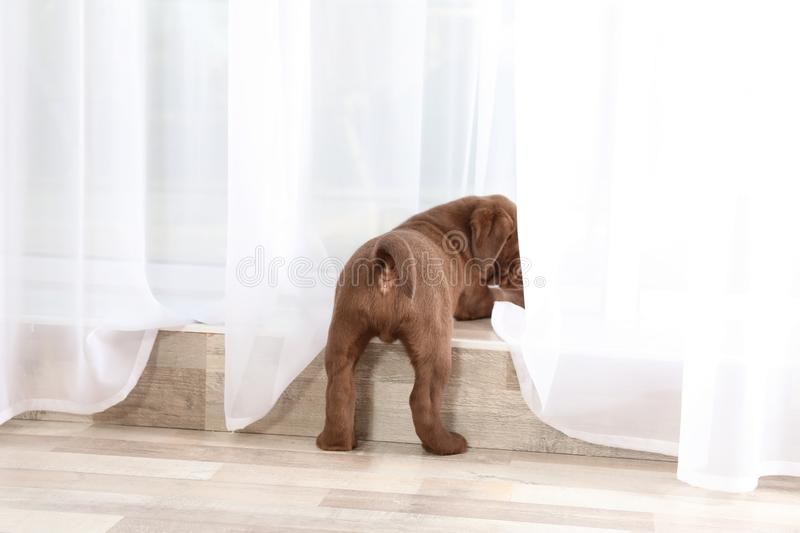 Chocolate Labrador Retriever puppy looking out window. Indoors royalty free stock photos