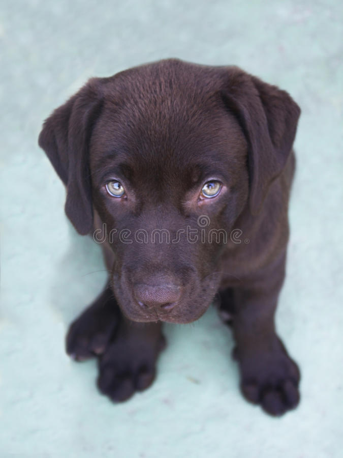 Chocolate labrador retriever puppy looking up. High angle shot of cute looking chocolate labrador retriever puppy royalty free stock photography
