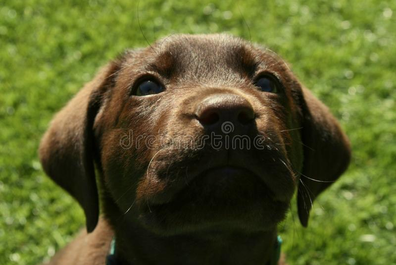 Chocolate Labrador Retriever Puppy Looking Up. Chocolate Labrador Retriever puppy sitting on grass and looking up towards you stock images