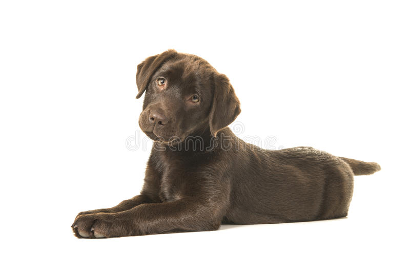 Chocolate labrador retriever puppy lying down on the floor seen from the side looking at the camera. Isolated on a white background royalty free stock photography