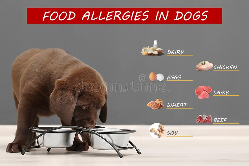 Chocolate Labrador Retriever puppy near bowls on floor against color wall. Food allergies in dogs stock photos