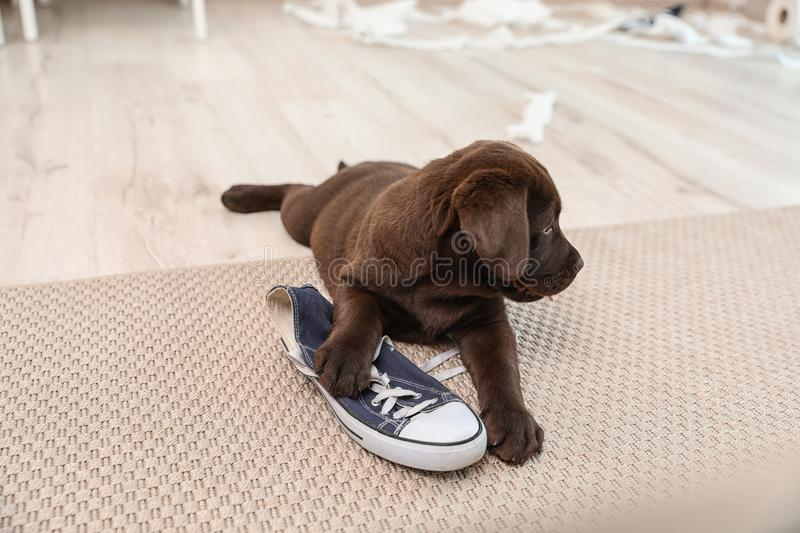 Chocolate Labrador Retriever puppy playing with sneaker on carpet. Indoors royalty free stock images