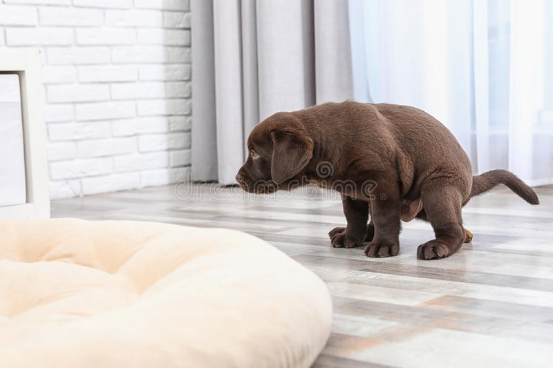 Chocolate Labrador Retriever puppy pooping on floor. Indoors royalty free stock photography