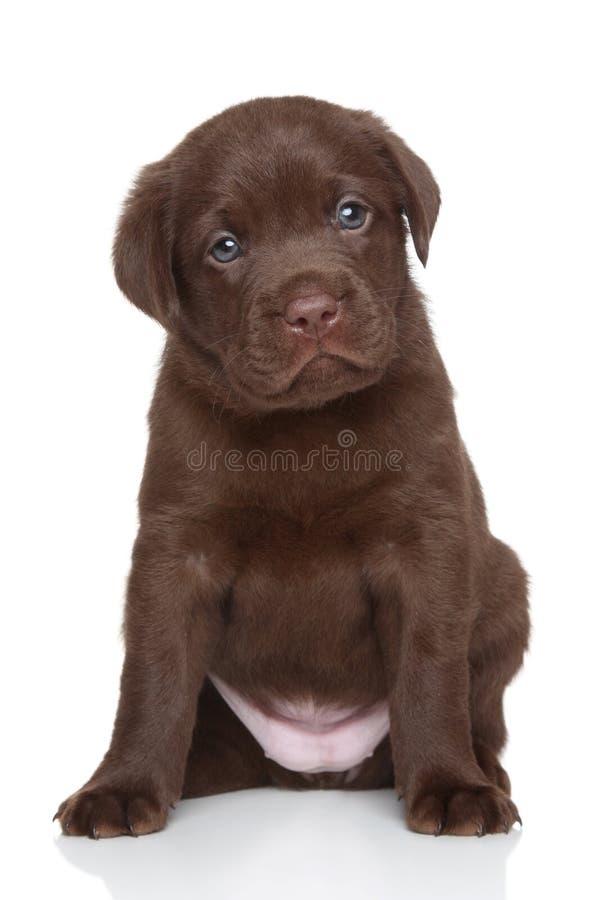 Chocolate Labrador retriever puppy, portrait stock photography