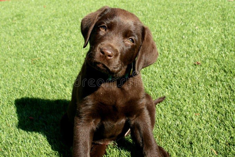 Chocolate Labrador Retriever Puppy Sitting on Lawn royalty free stock image