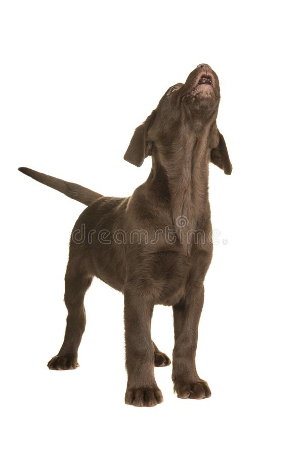 Chocolate labrador retriever puppy standing and looking up howling isolated on a white background stock photography
