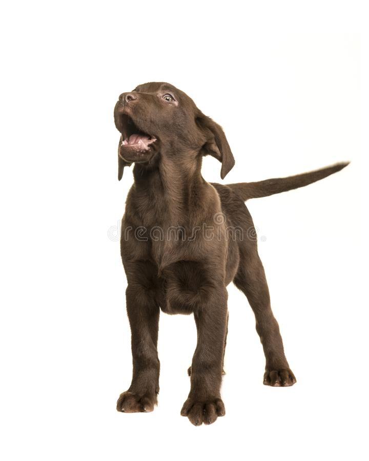 Chocolate labrador retriever puppy standing and looking up isolated on a white background stock image