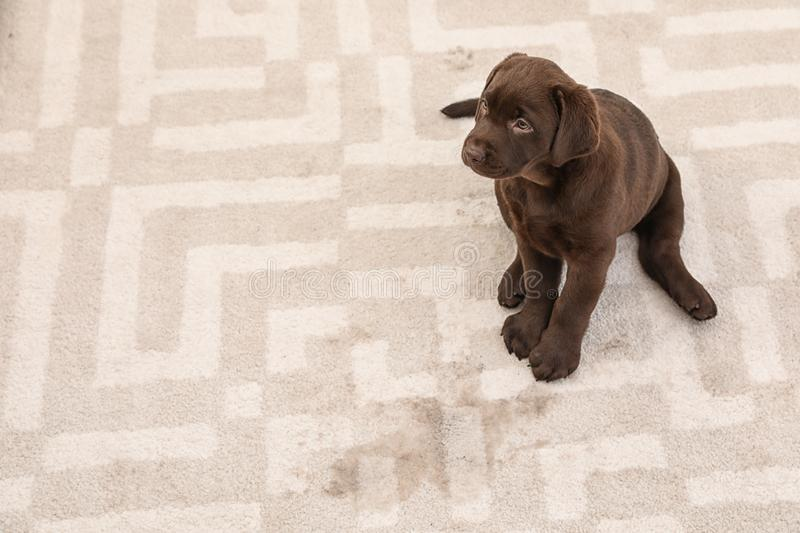Chocolate Labrador Retriever puppy and wet spot on carpet. Space for text royalty free stock images