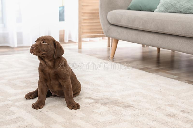 Chocolate Labrador Retriever puppy and wet spot. On carpet indoors royalty free stock image