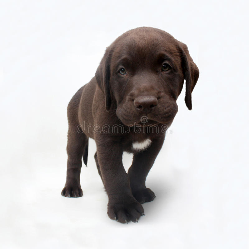 Chocolate labrador retriever puppy with white spot. Studio shot of chocolate labrador retriever puppy with white spot looking at camera stock photography