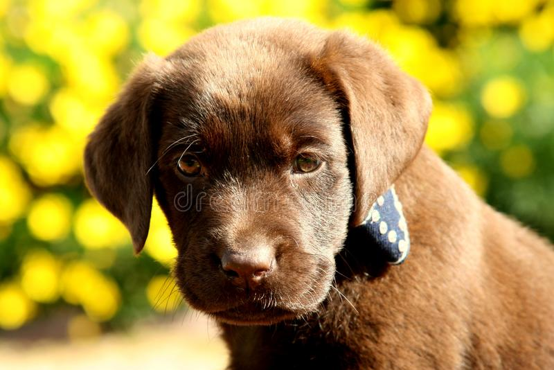 Chocolate Labrador Retriever Puppy with Yellow Flowers. In the background royalty free stock photography