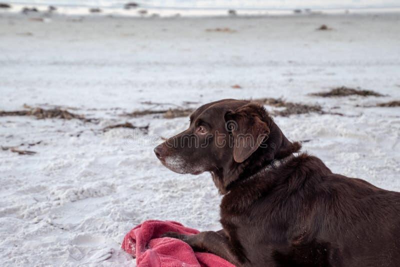 Chocolate labrador retriever que coloca na praia branca da areia ao observar a natureza no nascer do sol, ao longo do Golfo do Mé imagem de stock