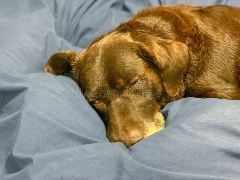 Chocolate labrador retriever que dorme na cama fotografia de stock royalty free
