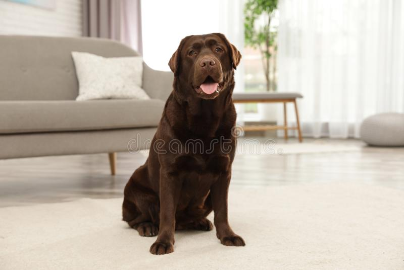 Chocolate labrador retriever sitting on floor. Indoors stock photos