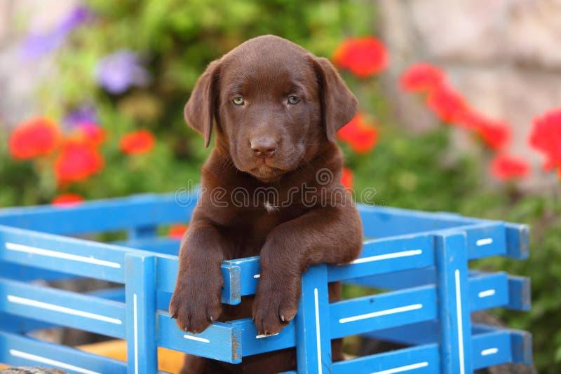 Download Chocolate Labrador Retriever Sitting In Wagon Stock Image - Image of labrador, wagon: 35741755