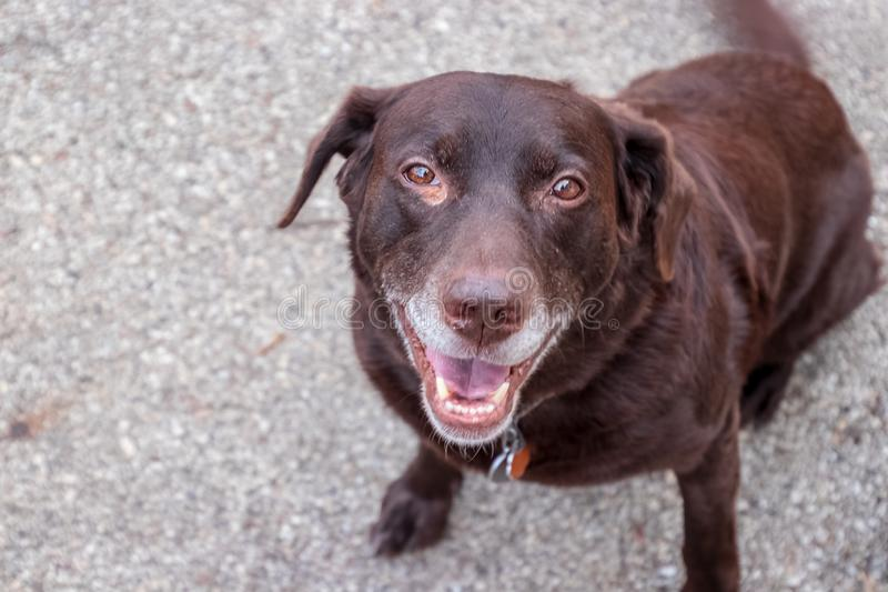 Chocolate labrador retriever is smiling at camera. With his gray muzzle stock photo