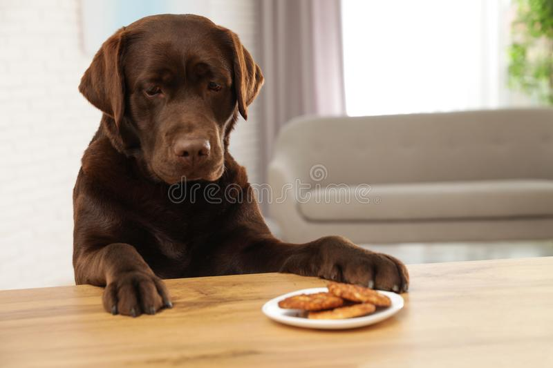 Chocolate labrador retriever at table with plate of cookies. Indoors stock photos