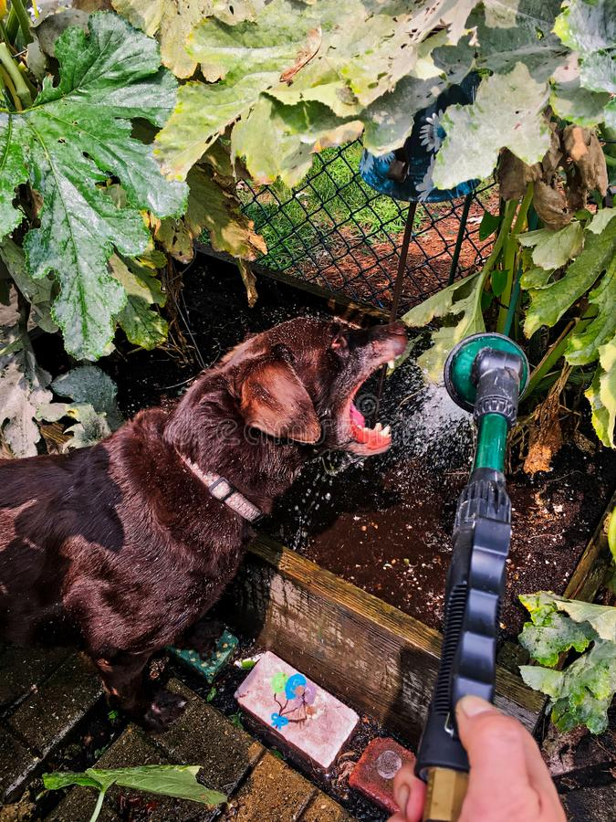 Chocolate labrador retriever trying to eat the water coming out of a garden hose, surrounded by raised garden beds. Chocolate labrador retriever trying to eat stock photo