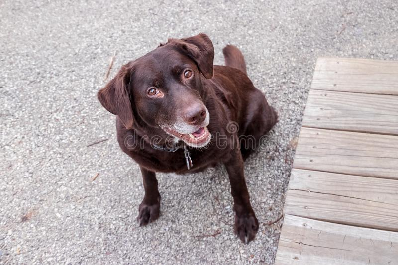 Chocolate labrador retriver smiling with joy. As it waits for a command royalty free stock photo