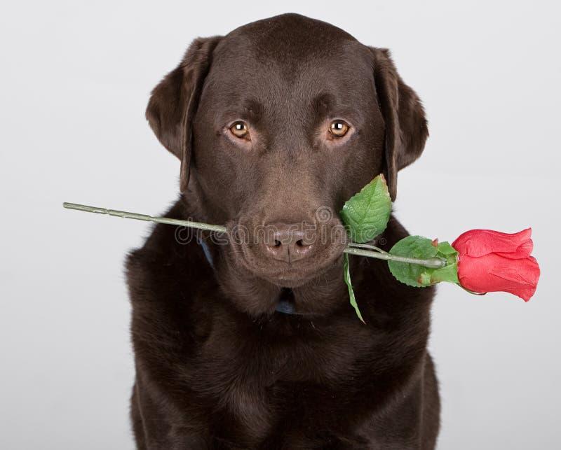 Chocolate Labrador with Rose. Shot of a Chocolate Labrador with Rose royalty free stock photography