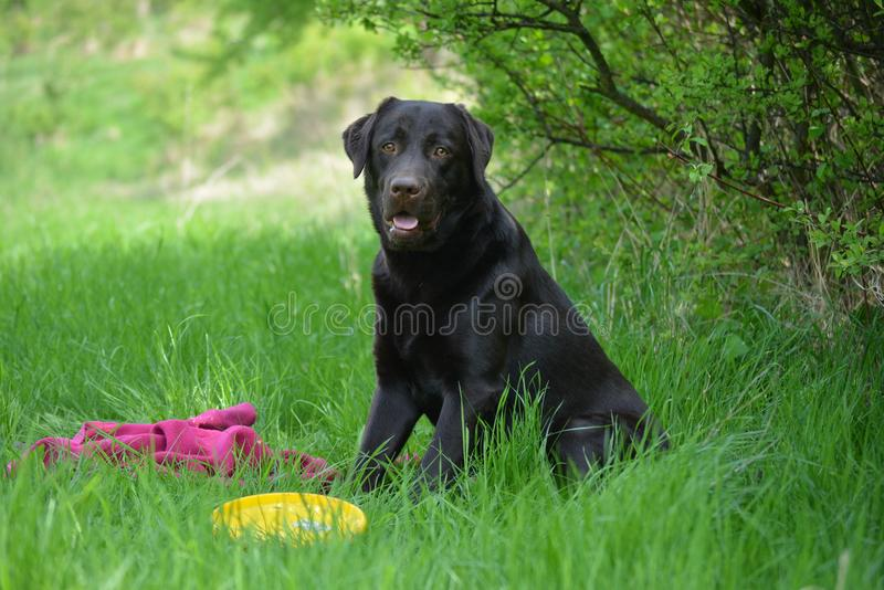 Chocolate labrador sitting on the green grass. Chocolate labrador sitting on the green grass in the forest stock image