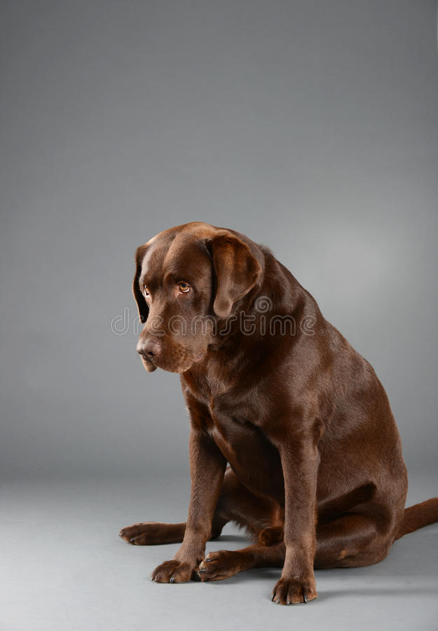 Chocolate Labrador sitting and looking sad. Brown Chocolate Labrador, sitting and looking sad, against a grey backdrop stock photography