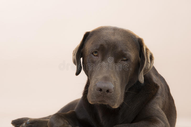 Chocolate Labrador sitting and looking sad. Chocolate Labrador sitting and looking sad, set against a pale pink background royalty free stock photography