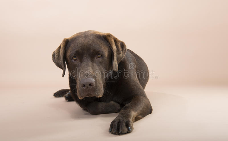 Chocolate Labrador sitting and looking sad. Chocolate Labrador sitting and looking sad, set against a pale pink background royalty free stock images