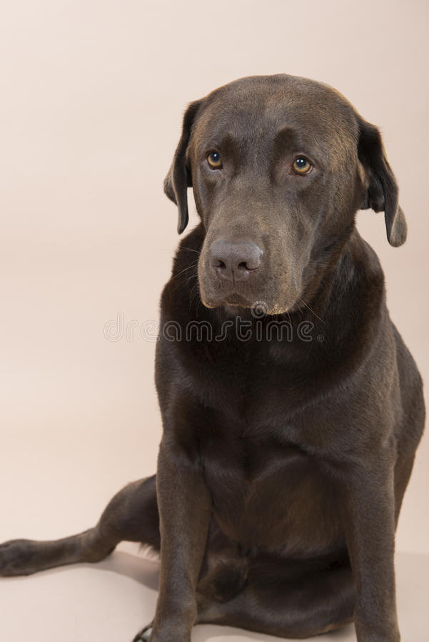 Chocolate Labrador sitting and looking sad. Chocolate Labrador sitting and looking sad, set against a pale pink background stock photography