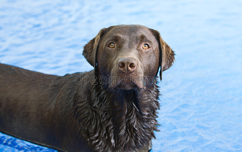 Chocolate Labrador in the Swimming Pool royalty free stock photography