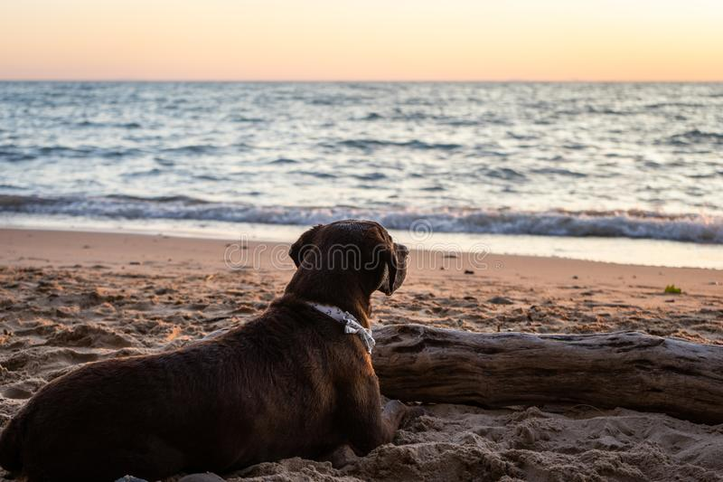 Chocolate Labrador watching the sunset at the lake. Animal, pet, relax, summer royalty free stock images