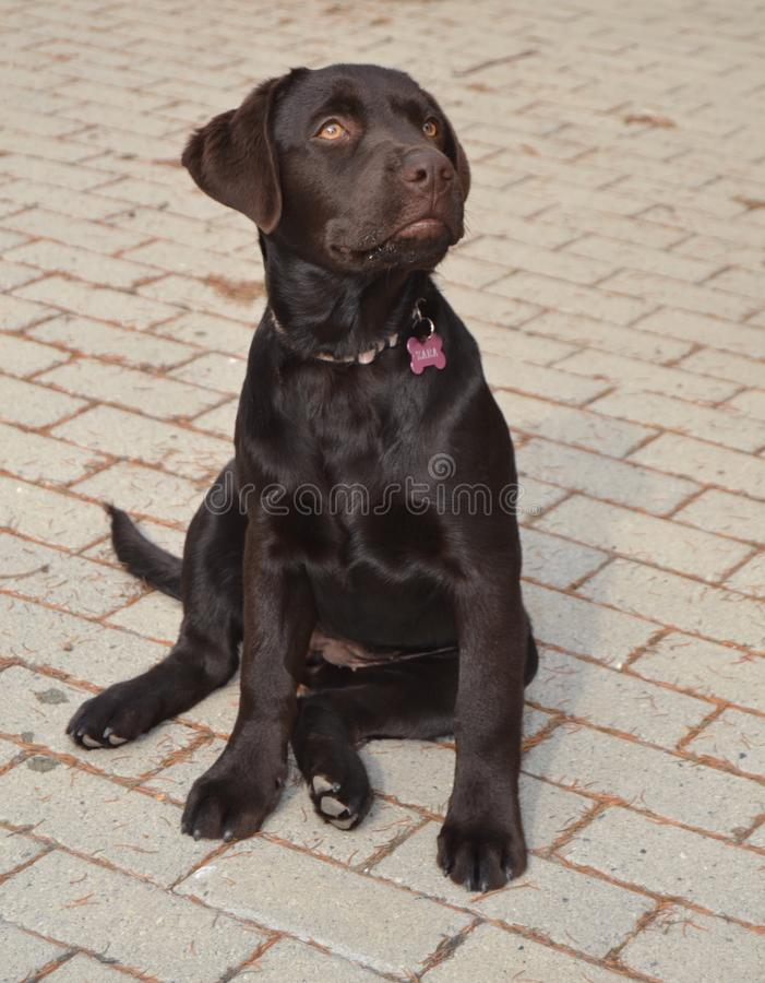 Chocolate Labradorable stock images